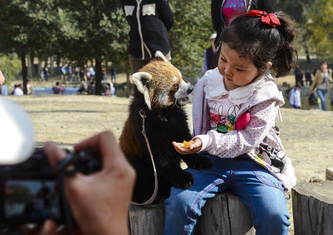 新疆烏魯木齊野生動物園裡的「中華小熊貓」。 圖/新華社