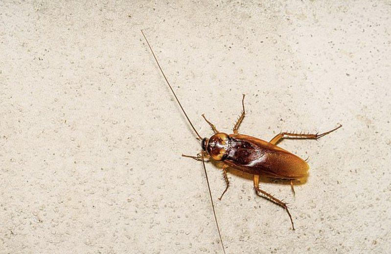 澳洲一名男子被巨大蟑螂嚇得不知所措,於是貼出廣告重金懸賞勇士幫他處理這隻蟑螂。圖擷自每日郵報
