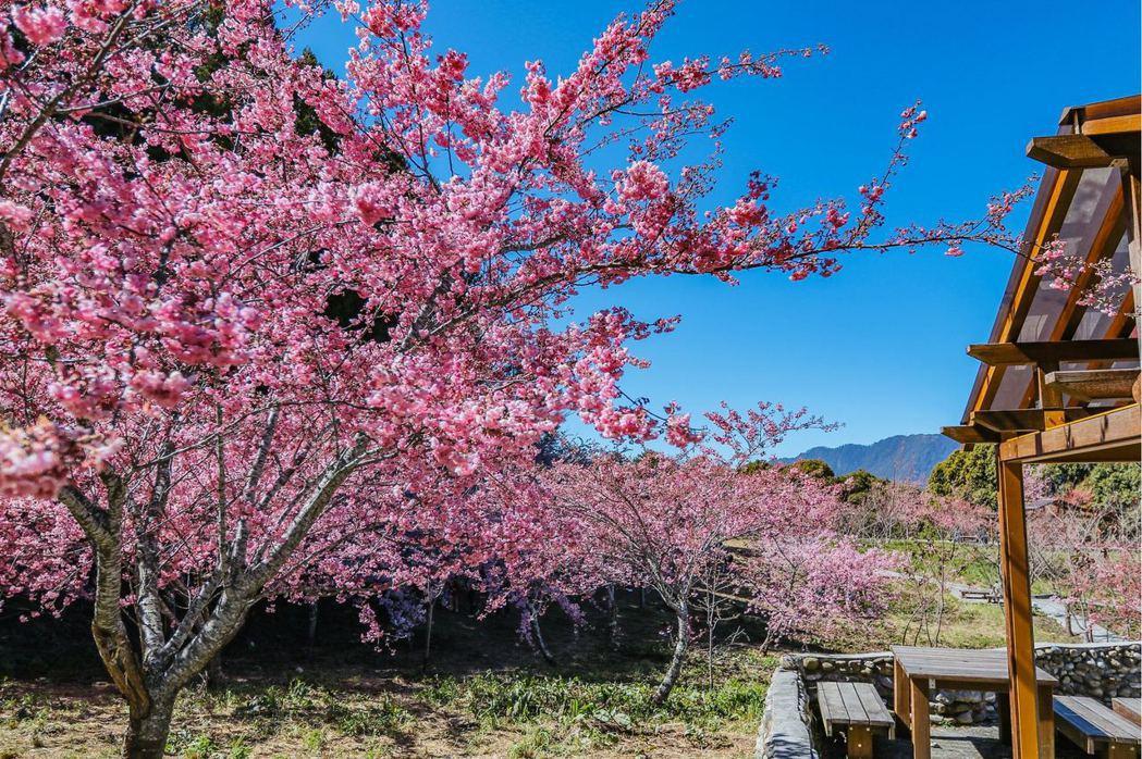 福壽山農場千櫻園內有富士櫻、昭和櫻等多種櫻花,2月底至3月初正是最佳的觀賞期。圖...