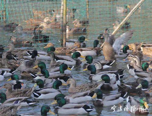 毗鄰巴基斯坦的中國決定派出「寧波鴨」出征滅蝗,首批預計出動10萬隻。取自寧波晚報