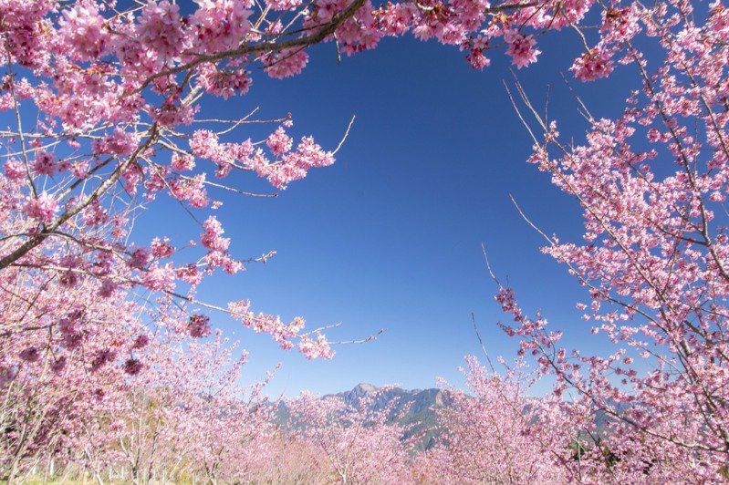 台中市和平區福壽山農場千櫻園,栽種富士櫻、昭和櫻、吉野櫻、大島櫻、鬱金櫻等櫻花,最近花朵大爆發,開花約7成。圖/福壽山農場提供