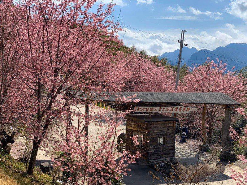 新竹縣尖石鄉後山的司馬庫斯部落,櫻花盛開已變身粉紅仙境。 圖/讀者提供