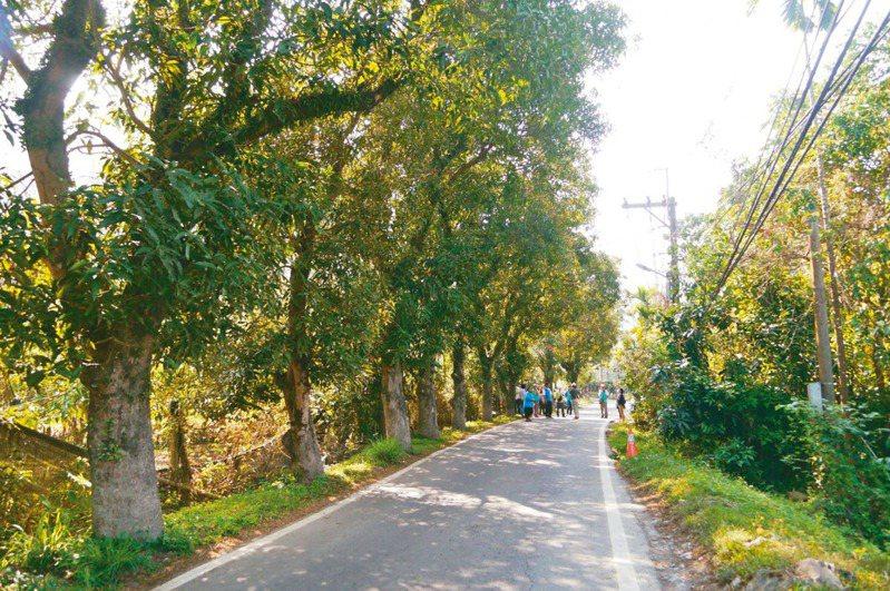 台27線六龜大津路段的芒果路樹有綠色隧道之稱 ,綿延1公里多,今夏舉辦土芒果節行銷地方特色。 記者徐白櫻/攝影