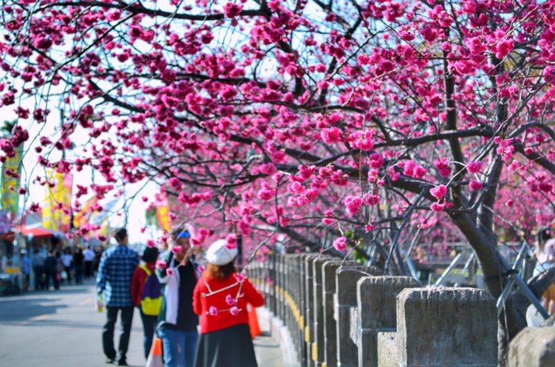 台中泰安櫻花季今天開滿花,人潮多。圖/台中市觀旅局提供