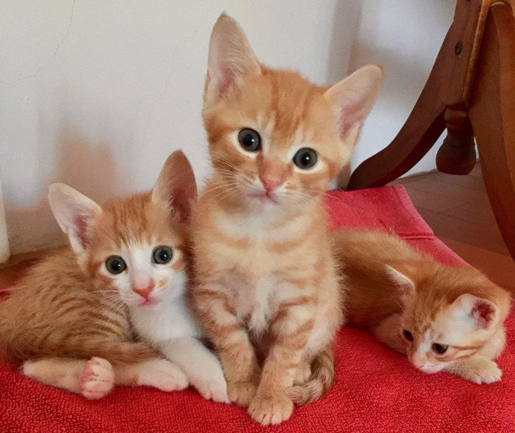 虎妞生了3隻小橘貓。 圖/yimiaokuo提供