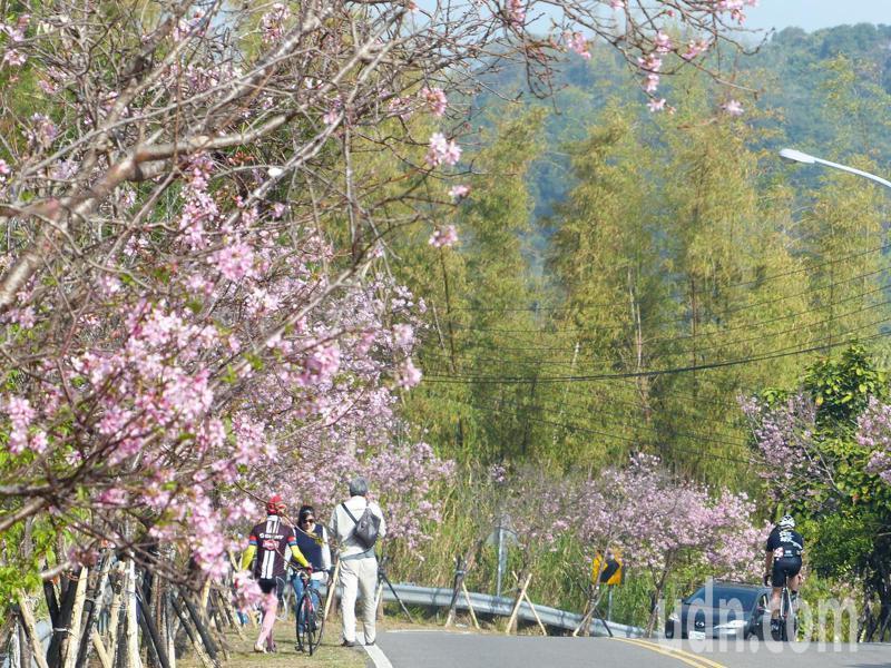 228連假期間,櫻花大道的櫻花正好大開,沿途深紅、粉紅花朵爭妍鬥豔,尤其是富士櫻開得最美,令人賞心悅目,為道路景觀增色不少,吸引不少單車族目光。記者劉明岩/攝影
