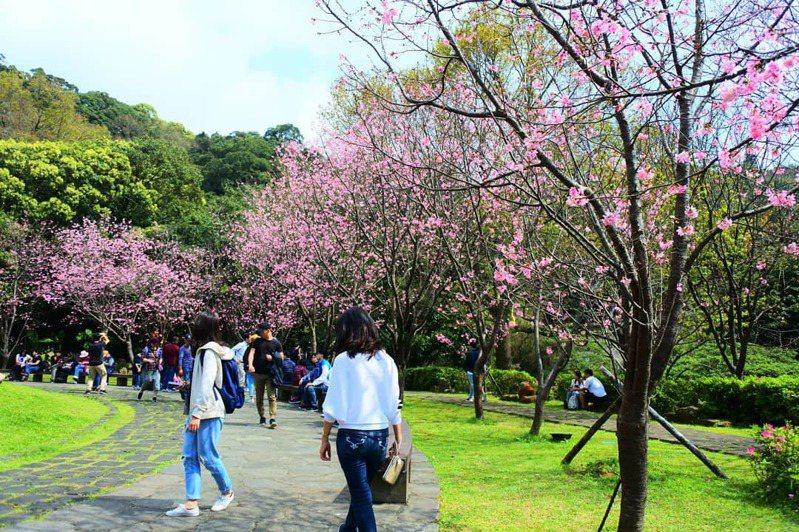 陽明山噴水池昭和櫻因為這兩天氣候放暖,花開迅速,已達8成。圖/台北市公園處提供