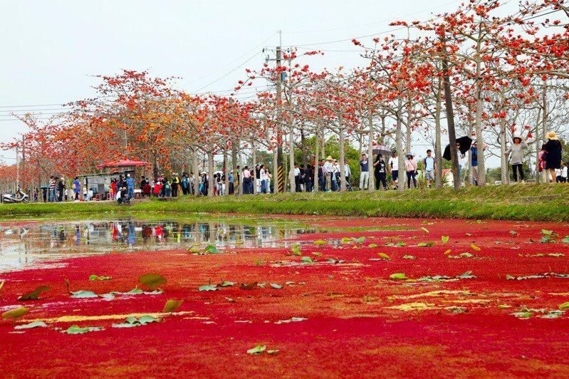 白河「林初埤木棉花道」搭配「滿江紅」蓮花田的奇特景緻,形成「雙紅輝映」,在網路上造成轟動,吸引大批遊客前往打卡拍照。 圖/台南市政府提供