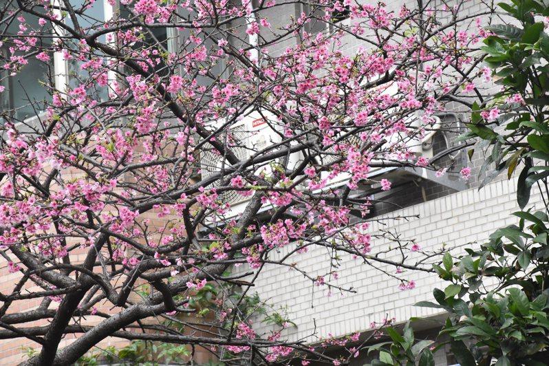 永安里長高導民表示,公園有一棵雙色吉野櫻,是在地特色也是精神象徵。記者江婉儀/攝影