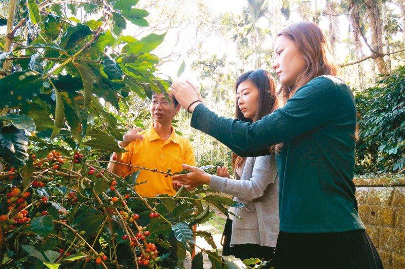 南投縣國姓鄉以種植咖啡開創「林下經濟」,取得產地認證標章,以精品化發展成功打響「國姓咖啡」名號。 記者賴香珊/攝影