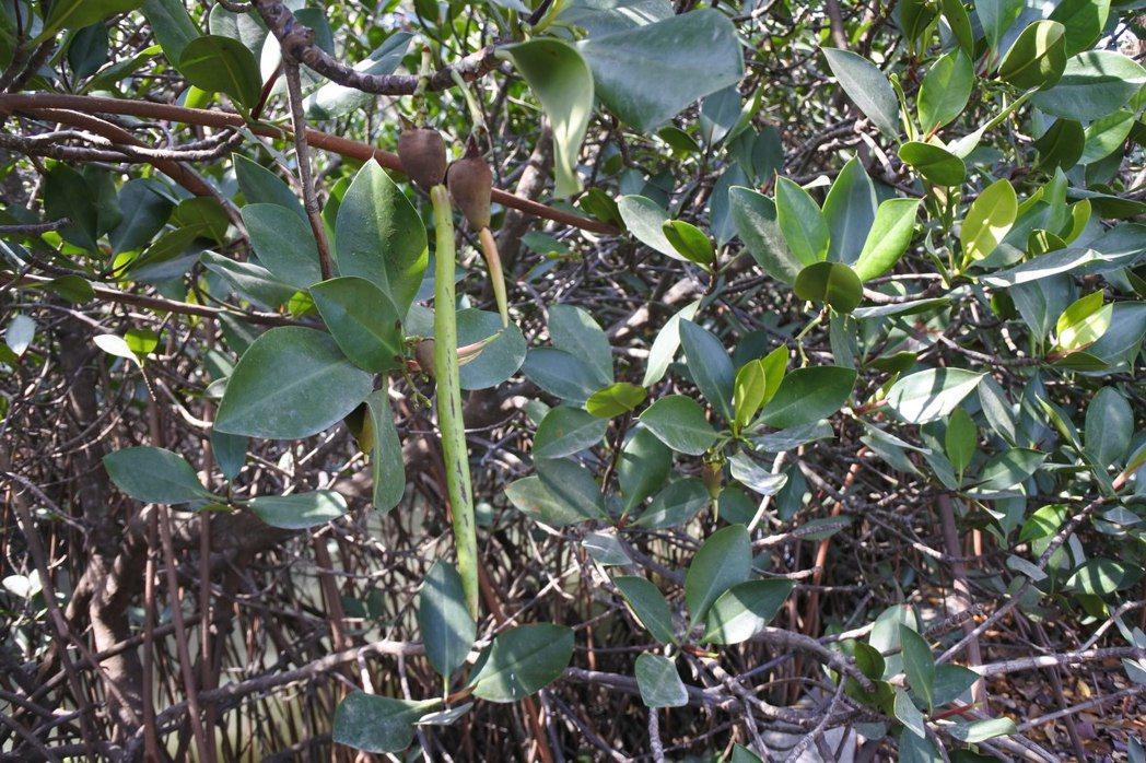 紅海欖的果實,胎生苗上有突出如疣的氣孔。 圖/作者提供,鄧書麟攝