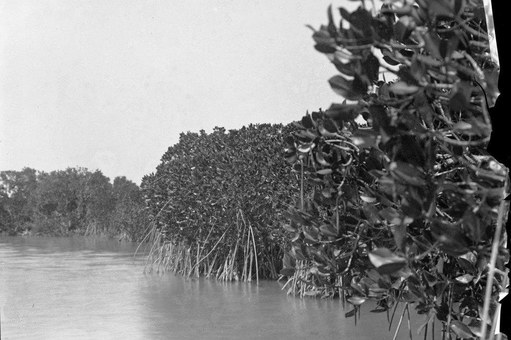 1919年攝於高雄前鎮庄的紅海欖族群。 圖/林試所提供