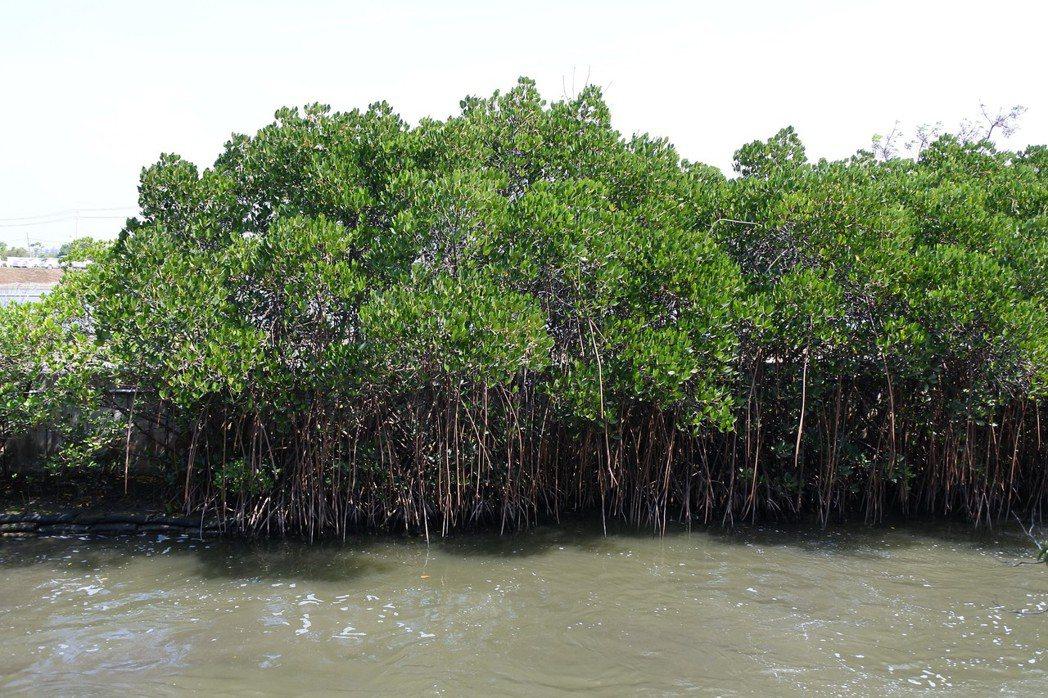 四草濕地是數量越來越稀少的紅海欖主要的生育地。 圖/作者提供,鄧書麟攝