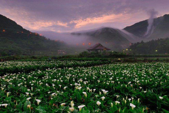 竹子湖海芋季/繡球花季。 圖/交通部觀光局