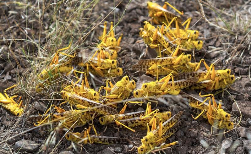 東非因為降雨異常,使得蝗蟲產卵爆增,已危害巴基斯坦等國。(美聯社資料照片)
