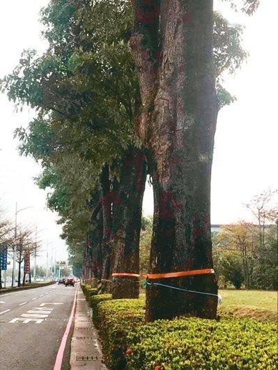 「高雄市鐵路地下化園道開闢工程左營計畫」崇德路至中華一路區段,護樹團體發現有150棵大樹被貼標示,疑似要移植、砍除。 圖/護樹團體提供