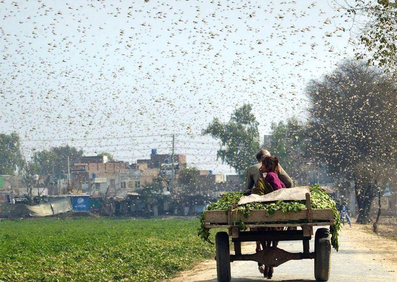 巴基斯坦東部地區持續遭蝗災侵襲。圖為上月當地蝗蟲肆虐景象。(新華社)