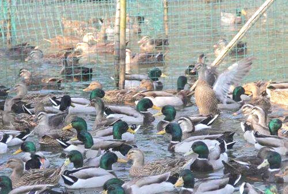 一則「浙江10萬隻鴨子出征巴基斯坦滅蝗」的話題,衝上微博熱搜,瞬間引爆網友熱議。...