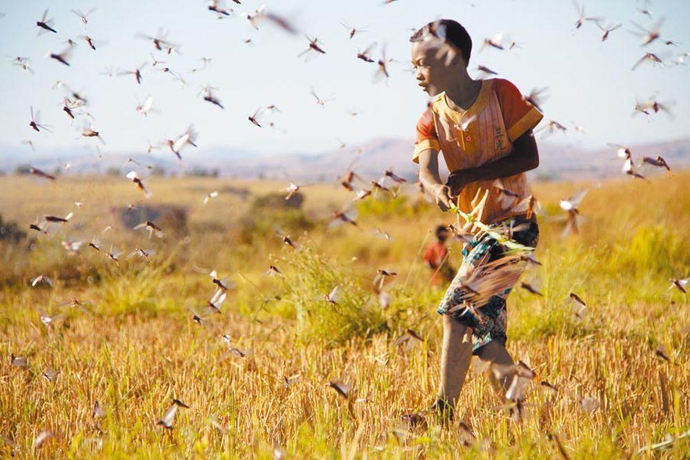 源自東非的蝗災向南亞蔓延,4000億隻沙漠蝗在印度肆虐。(新華社)