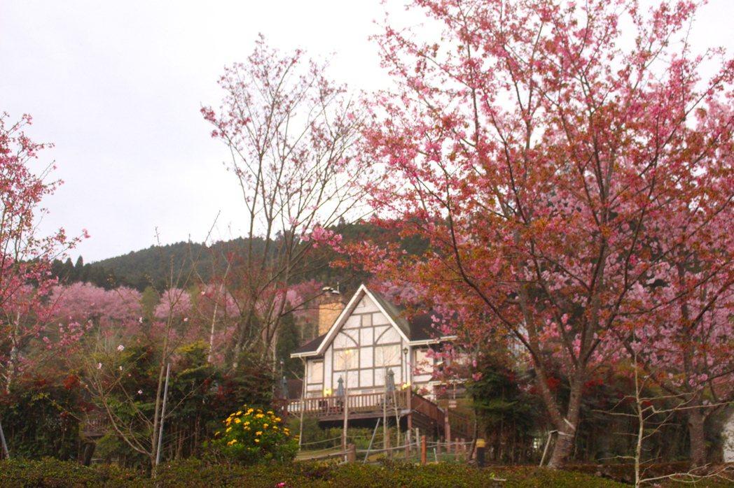 五峰鄉櫻花大爆發,目前正是賞櫻好時機。 圖/張雅婷 攝影