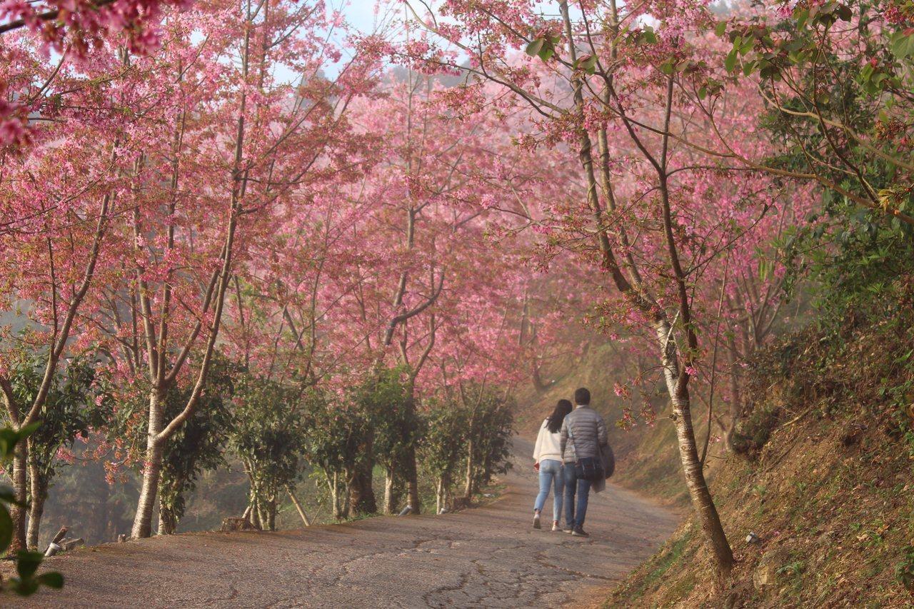 五峰鄉櫻花大爆發,熱門賞櫻地點山上人家森林農場,吸引許多民眾。 圖/張雅婷 攝影