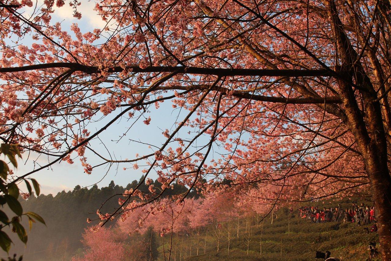 新竹縣五峰鄉櫻花大爆發,賞櫻地點之一的山上人家森林農場,除可賞櫻外,還能觀星、觀...