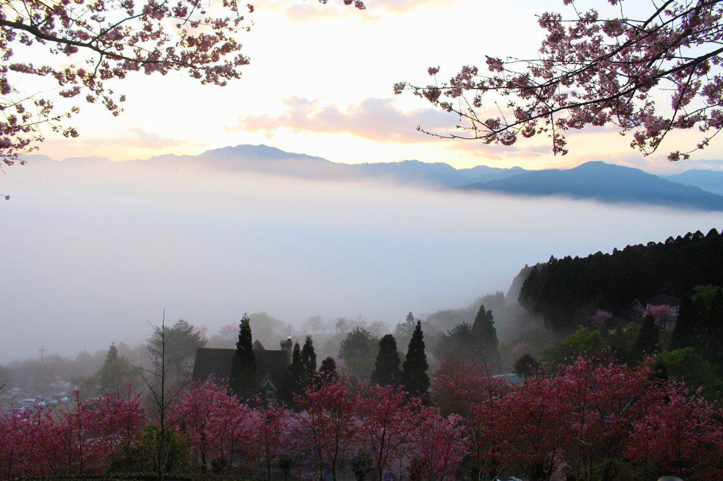 新竹縣五峰鄉賞櫻熱點山上人家森林農場,還能觀雲海。 圖/張雅婷 攝影