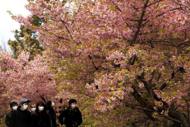日本人戴著口罩賞櫻。 圖/美聯社