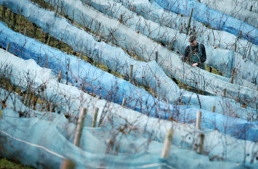 2019年德國的冰酒「全年無收」,這也是自1830年以來的史上第一次。圖為德國冰...