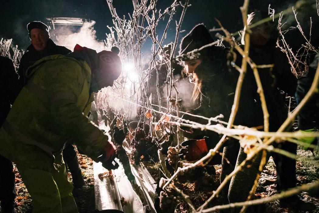 冰酒葡萄的收成時節較晚,落在12月~隔年1月之間的嚴冬。 圖/法新社