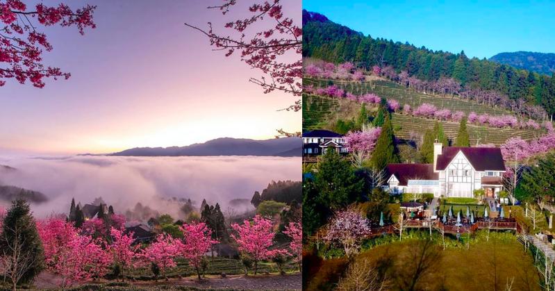 絕美的雲海與櫻花令人嘆為觀止。 圖/IG網友xiang_317授權  圖/山上人家森林農場臉書粉專