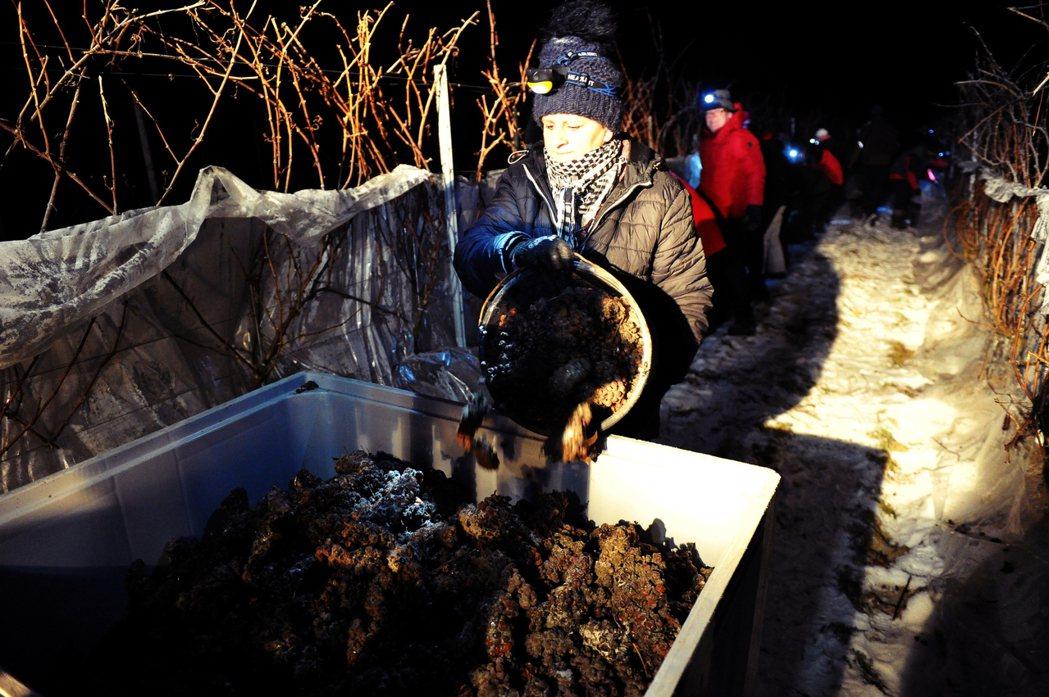 冰凍狀態下的完熟葡萄,收成後會迅速送入零下低溫的環境中進行榨汁,以確保留住果實裡...