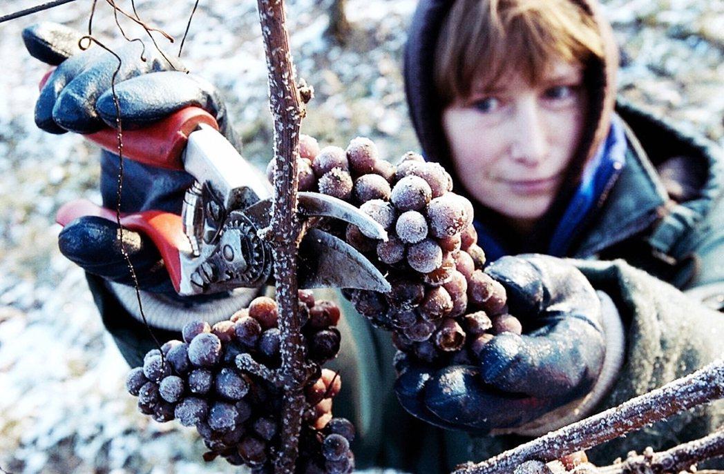 德國冰酒(Eiswein),是世界上最名貴的高端甜酒之一,但如今正遭遇「絕種」危...