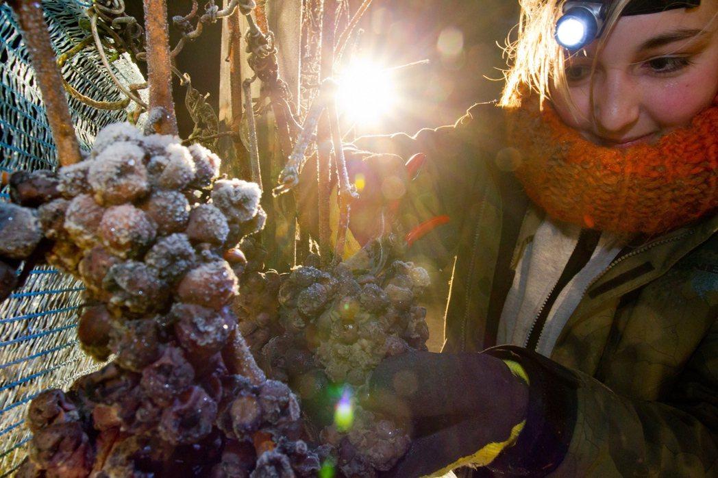 為了確保口味與品質,冰凍葡萄幾乎都是在凌晨的低溫時分,披星戴月地摘採。 圖/歐新...