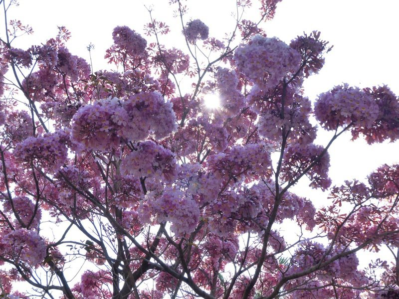 彰化市南校街南郭國小後門人行道上的一棵神奇紅花風鈴木,每年都綻放如同粉紅棉花糖般,吸引各地民眾前往賞花, 市公所將在3年內複製3千棵,將彰化市打造成美麗又浪漫的「花都」。 資料照片