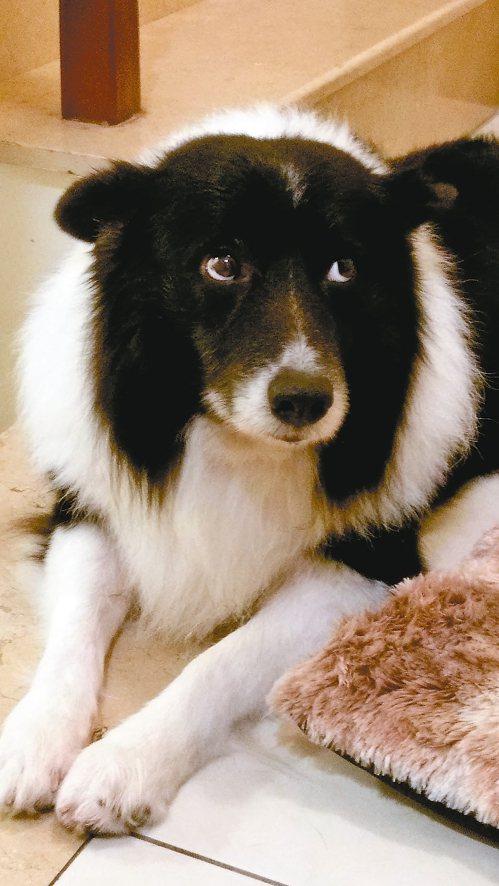 寶貝,我們何其有幸遇到你這個天使,聰明、乖巧有靈性的邊境牧羊犬。 圖/王碧鈴提供