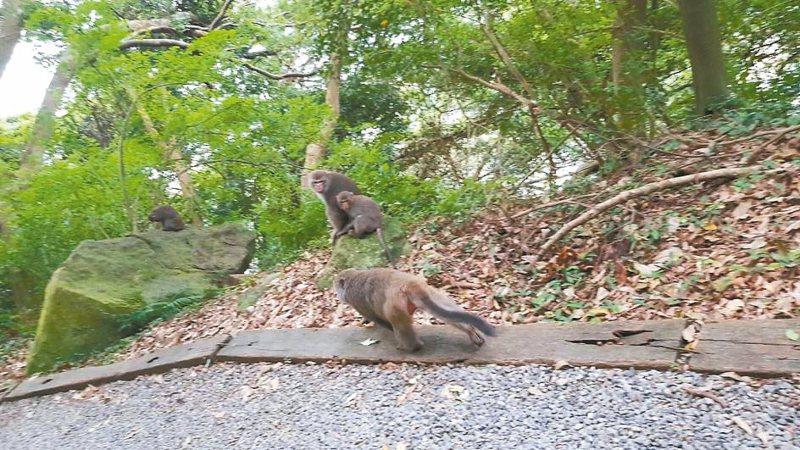 民眾餵猴行為導致猴子不怕生,北市天母步道最近就出現人帶水果餵猴的情況,遭晨間運動的居民目擊。 圖/讀者提供