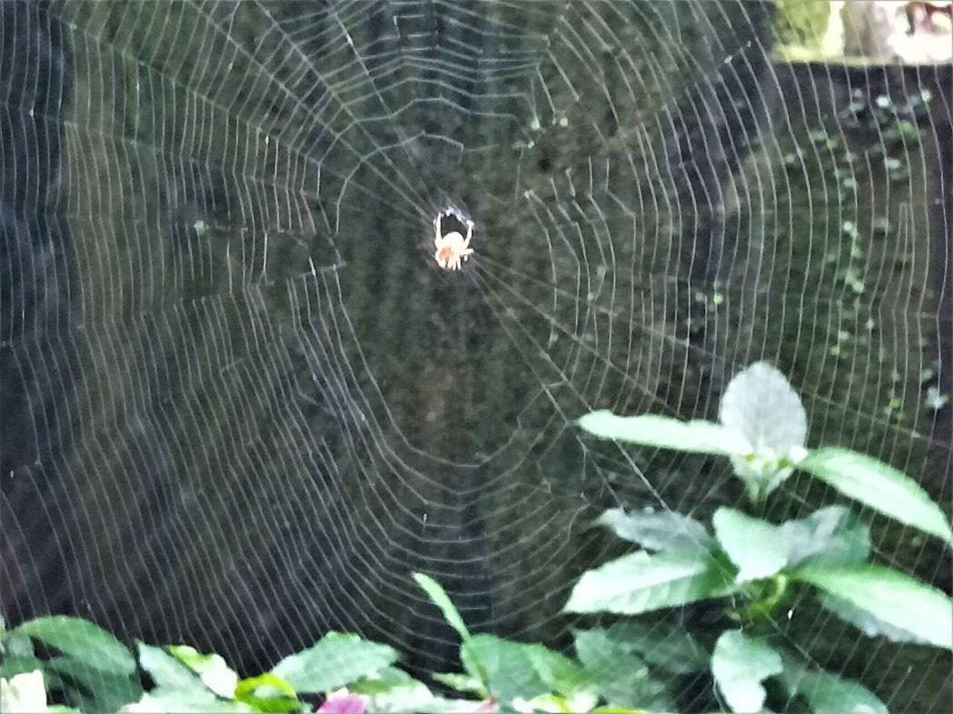 特生中心指台灣有紀綠的蜘蛛約460多種,在山林、樹叢、校園、住家其實都很常見,依...