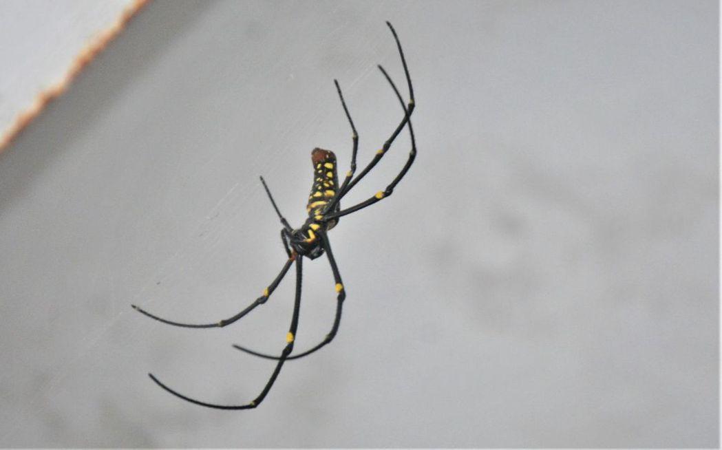 蜘蛛長相不討喜,很多人都感到害怕,特生中心助理研究員羅英元說,民眾對牠有不少誤解...