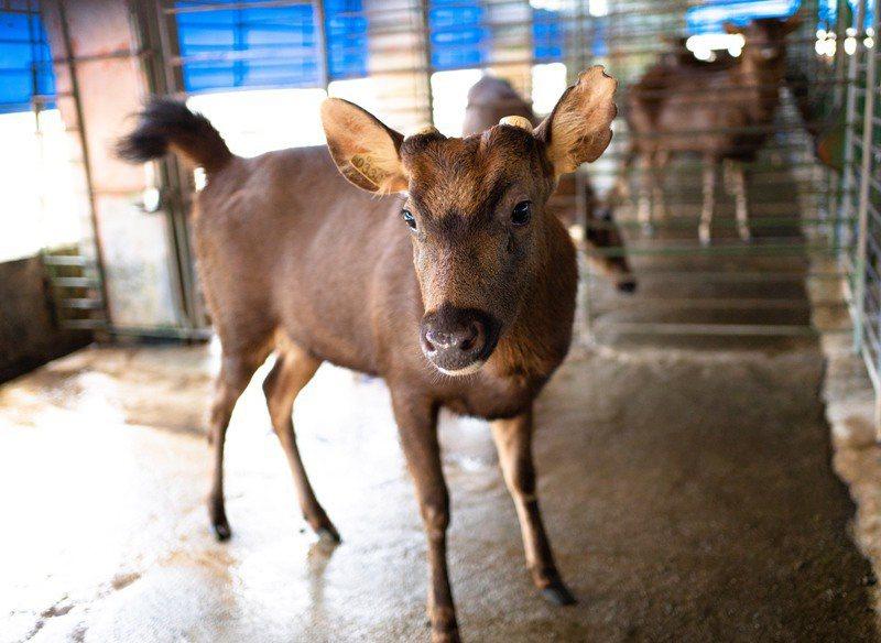 每年3到5月是台灣水鹿採茸季節,高雄市目前有43家養鹿戶,年產鹿茸約1557公斤,產值達3700多萬元,是一項高經濟價值的產業。圖/高雄市農業局提供