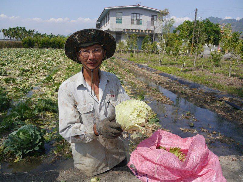 美濃農民馮啟昌說,自家高麗菜使用益生菌防治,外型沒有很漂亮。記者徐白櫻/攝影