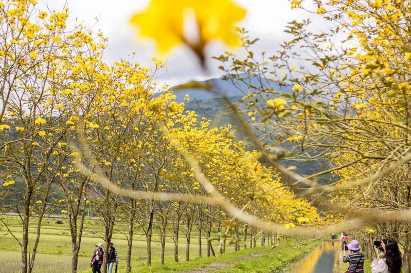 金黃色的黃花風鈴木綿延整個步道。 圖/花東縱谷國家風景區管理處臉書粉專