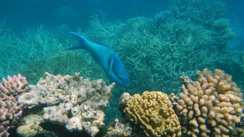 珊瑚礁受熱而白化,需要時間復原。(Photo by Robert Linsdell on Flicker under Creative Commons license)