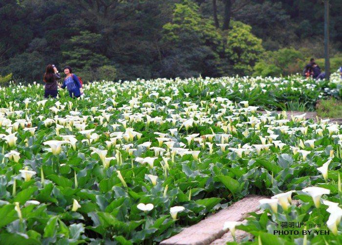 竹子湖。 圖/Flickr