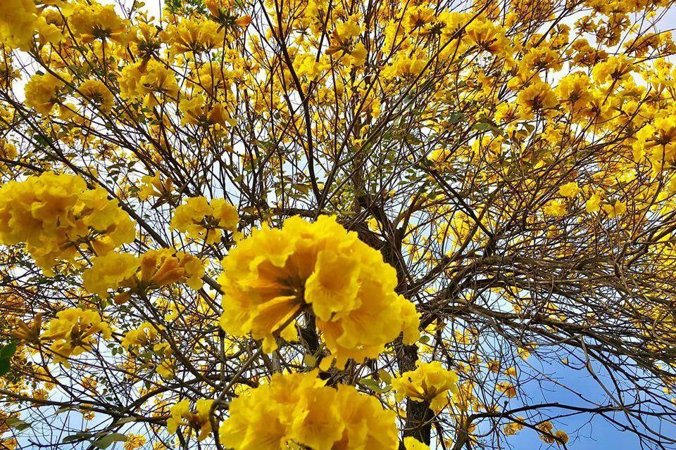 嘉義/八掌溪河畔忠義橋 黃花風鈴木美麗盛開