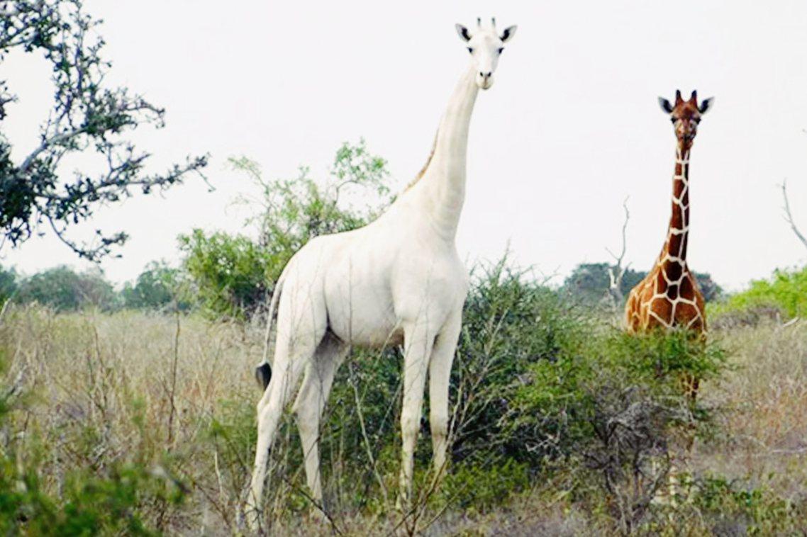 東非肯亞一座自然保護區,日前證實一對白色長頸鹿母子,慘遭盜獵者殺害。當地保育團體...