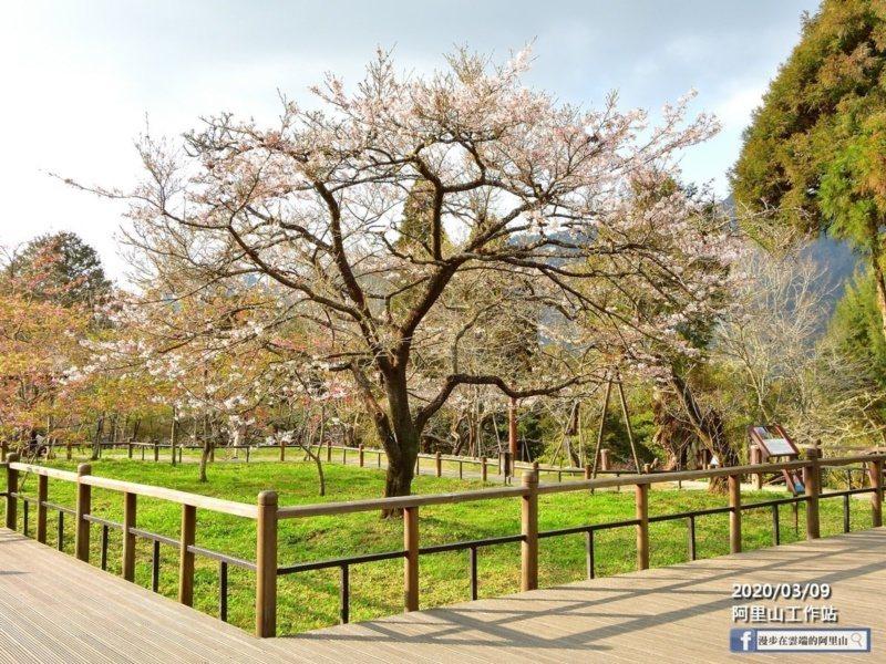 被稱為櫻王的染井吉野櫻,目前已開了五成,櫻王被稱為領頭羊,開花後阿里山其他櫻花才...