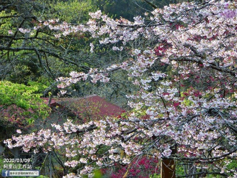 嘉義縣阿里山櫻花季廿多種櫻花陸續綻放,目前上山正是最佳賞櫻期。 圖/黃源明 提供