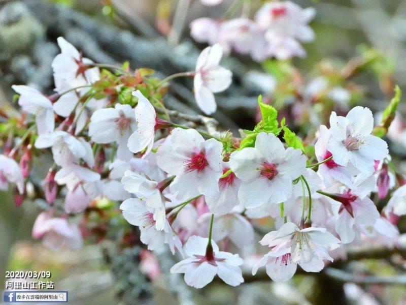 嘉義縣阿里山櫻花季的粉色系櫻花含苞待放,吸引許多愛花人士追逐。 圖/黃源明 提供