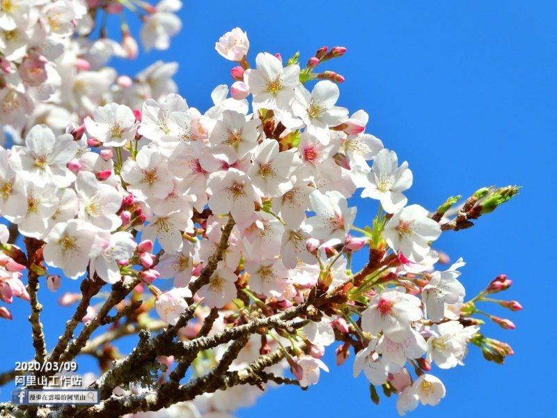 嘉義縣阿里山櫻花季的粉色系櫻花含苞待放。 圖/黃源明提供
